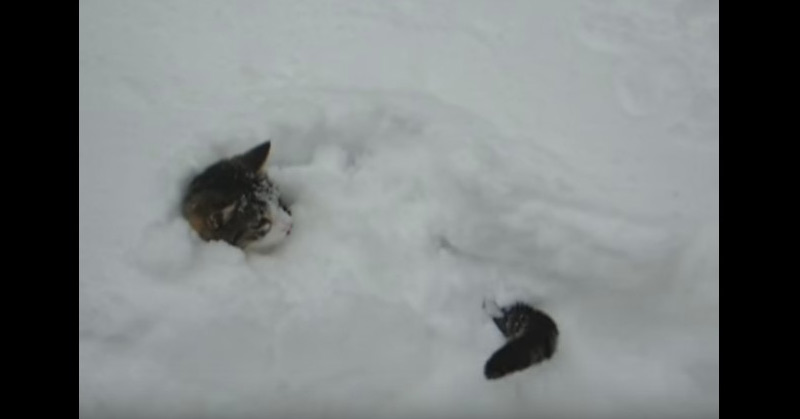 Video - Cat Burrows In Snow