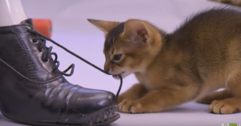 Abyssinian Remy Steals The Spotlight - Too Cute