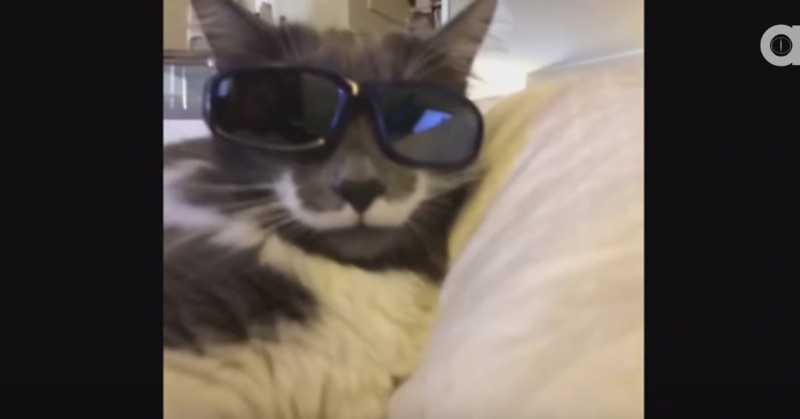 Best Hamilton The Hipster Cat Vines