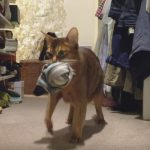Caught! Hidden Camera Catches Abyssinian Cat Stealing Clothes