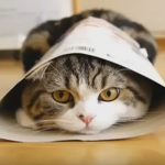 I Am Maru – The Funniest Cat On The Planet