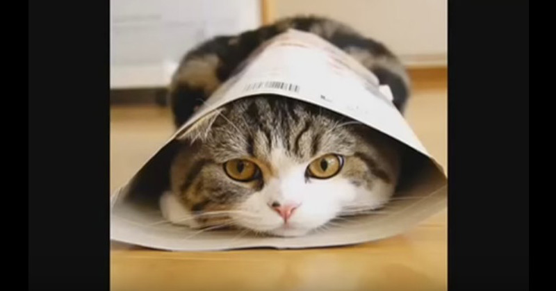 I Am Maru - The Funniest Cat On The Planet