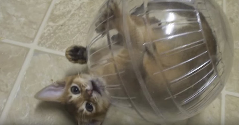 Kitten Addicted To Hamster Ball