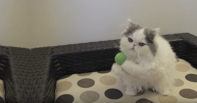 Persian Kitten Mochi Catches Ball