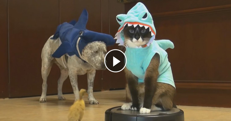 Lovable Cats Cat In A Shark Costume Chases A Duck While