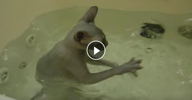 Lovable Cats Sphynx Cat Gets Into The Bathtub By Herself