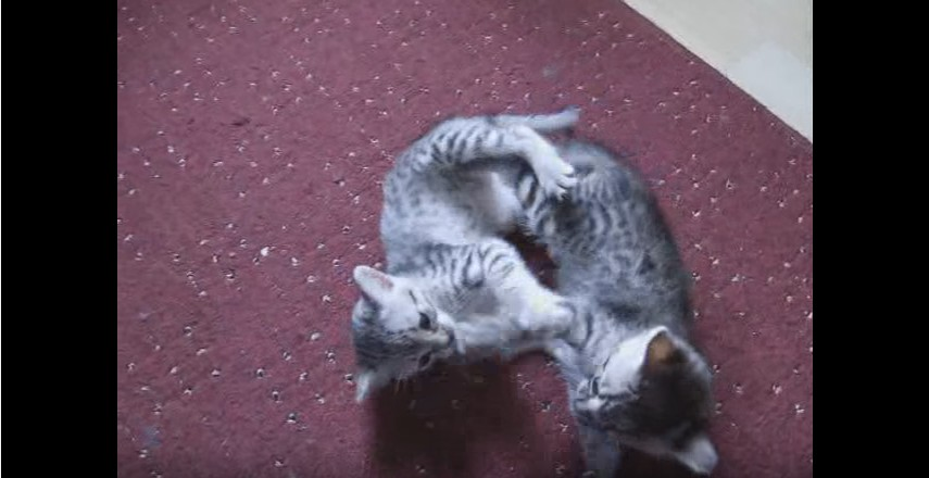 Playing Egyptian Mau Kittens