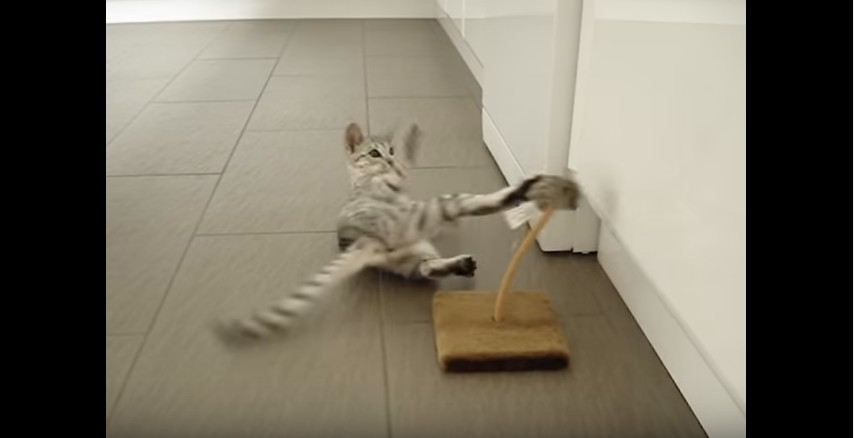 Black Silver Ocicat kitten playing