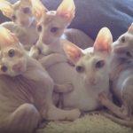 Pile Of Cornish Rex Kittens