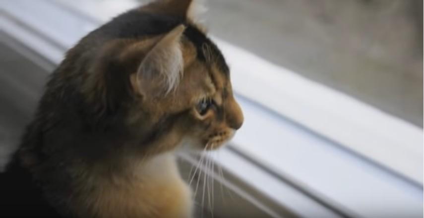 Cassiopeia. My Sunny Somali Cat