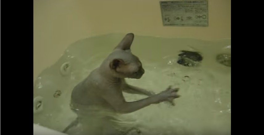 Sphynx Cat Gets Into The Bathtub By Herself
