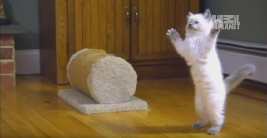 Ragdoll Kittens  Too Cute