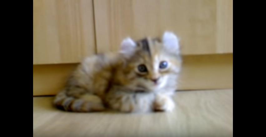 Kitten American Curl Manolito