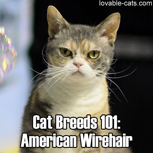 Cat Breeds 101: American Wirehair