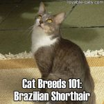 Cat Breeds 101: Brazilian Shorthair