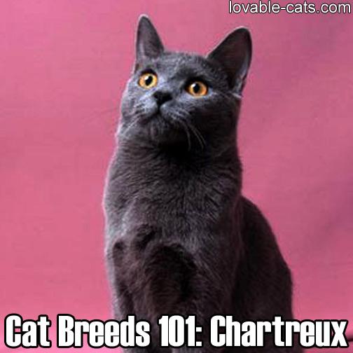 Cat Breeds 101: Chartreux