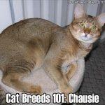 Cat Breeds 101: Chausie