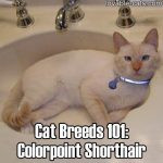 Cat Breeds 101: Colorpoint Shorthair