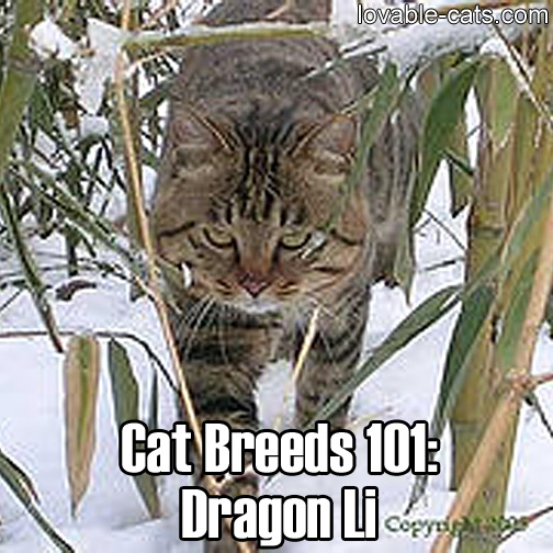 Cat Breeds 101: Dragon Li