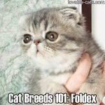 Cat Breeds 101: Foldex