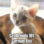 Cat Breeds 101: German Rex