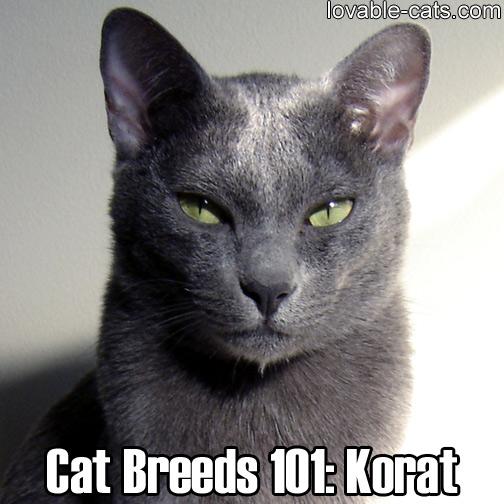 Cat Breeds 101: Korat