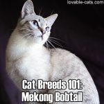 Cat Breeds 101: Mekong Bobtail