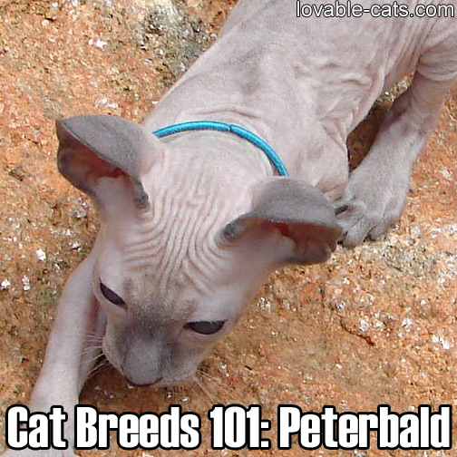 Cat Breeds 101: Peterbald