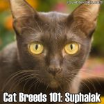 Cat Breeds 101: Suphalak