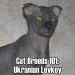 Cat Breeds 101: Ukranian Levkoy