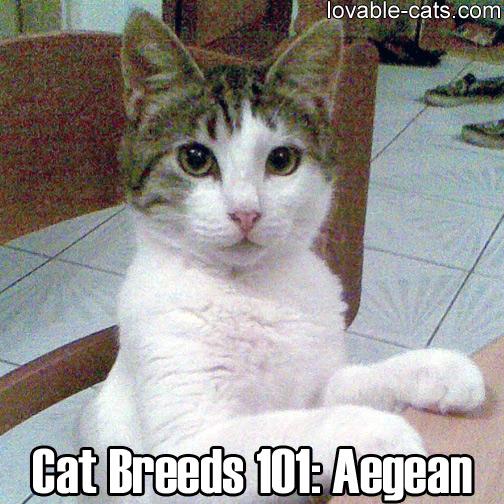 Cats Breeds 101: Aegean