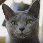 How Adorable Is This Russian Blue Cat Luna?
