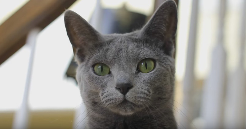 How Adorable Is This Russian Blue Cat Luna