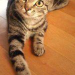 Cat Breeds 101:  American Curl!