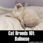 Cat Breeds 101: Balinese