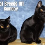 Cat Breeds 101: Bombay!