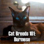 Cat Breeds 101: Burmese!