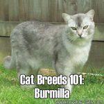 Cat Breeds 101: Burmilla!