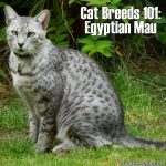 Cat Breeds 101: Egyptian Mau!