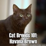 Cat Breeds 101: Havana Brown