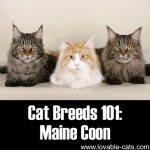 Cat Breeds 101: Maine Coon!