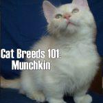 Cat Breeds 101: Munchkin!