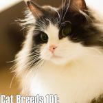 Cat Breeds 101: Ragamuffin!