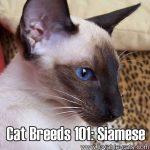 Cat Breeds 101: Siamese!