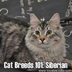 Cat Breeds 101: Siberian!