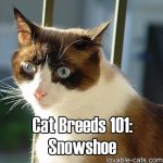 Cat Breeds 101: Snowshoe