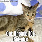 Cat Breeds 101: Sokoke