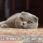 Cat Breeds 101: Scottish Fold!