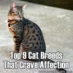 Top 9 Cat Breeds That Crave Affection