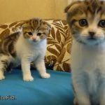 Cutest Twins Ever – Scottish Fold Kittens
